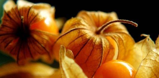 Физалис перуанский, или Капский крыжовник (Physalis peruviana)