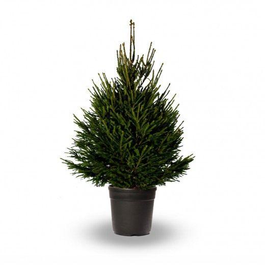 Ель обыкновенная, или европейская (Picea abies)