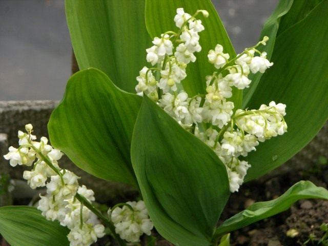 Ландыш майский махровый Пролификанс (Convallaria majalis 'Prolificans')