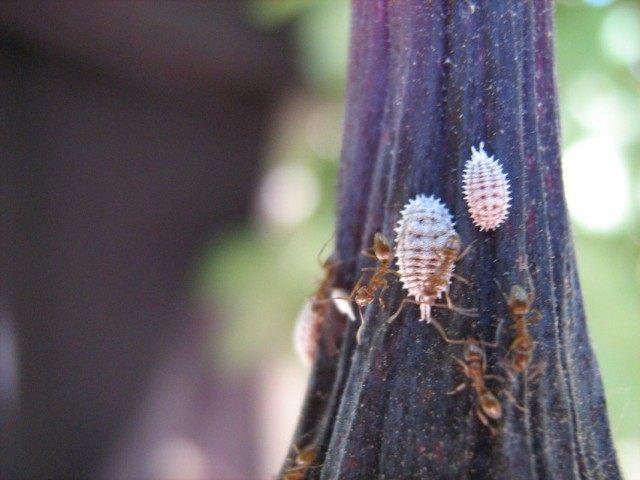 Приморский мучнистый червец (Pseudococcus affinis)