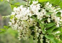 «Белой акации гроздья душистые…»