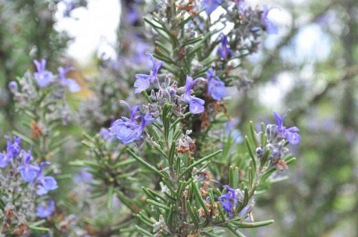Цветки розмарина лекарственного