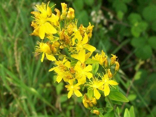 Зверобой жестковолосый, или Зверобой волосистый (Hypericum hirsutum)
