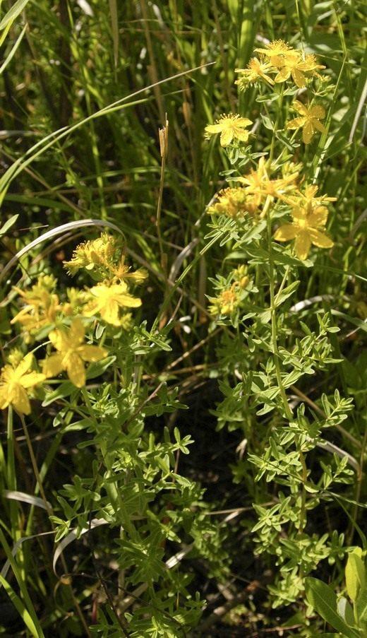 Зверобой продырявленный, или Зверобой обыкновенный (Hypericum perforatum)