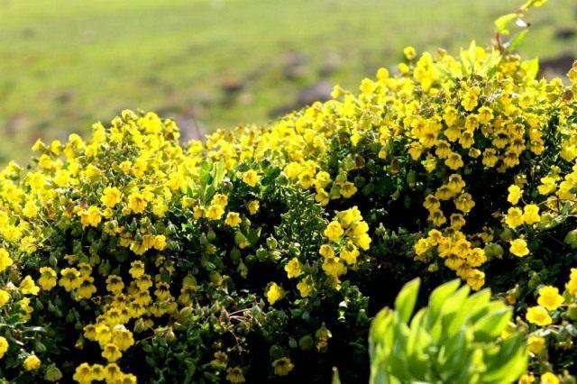 Настурция Гукера (Tropaeolum hookerianum)