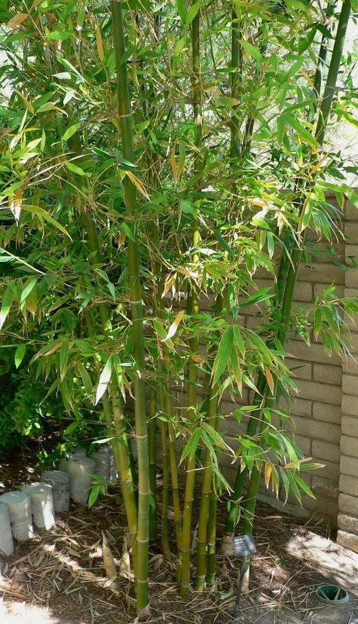 Бамбук (Bamboo)