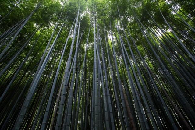 Наибольшей высоты достигает бамбук бирманский (40 м)