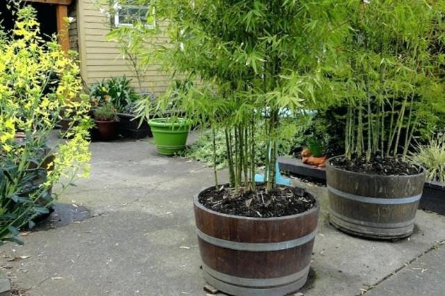 Летом комнатный бамбук отлично растет на улице