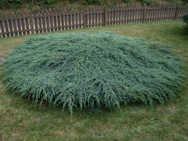 Можжевельник чешуйчатый 'Блю Карпет' (Juniperus squamata 'Blue Carpet')