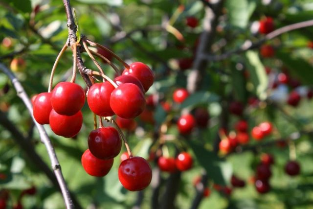 Вишня — особенности выращивания