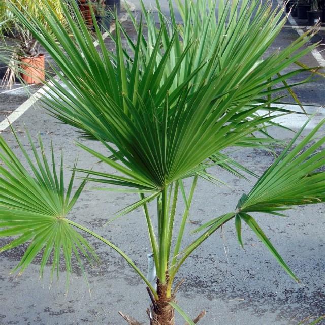 Пальма Брахея (Brahea edulis)