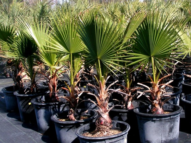 Пальма Вашингтония филифера (Washingtonia filifera)