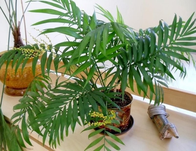 Пальма Хамедорея (Chamaedorea)