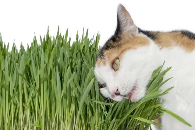 Молодые росточки овса, которое любят поедать кошки - лучшая профилактика поедания ими опасных растений