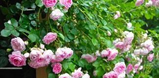 Роза плетистая.