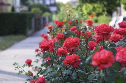 Розы как изгородь