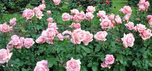 """Роза чайная, сорт """"TiffanyT"""