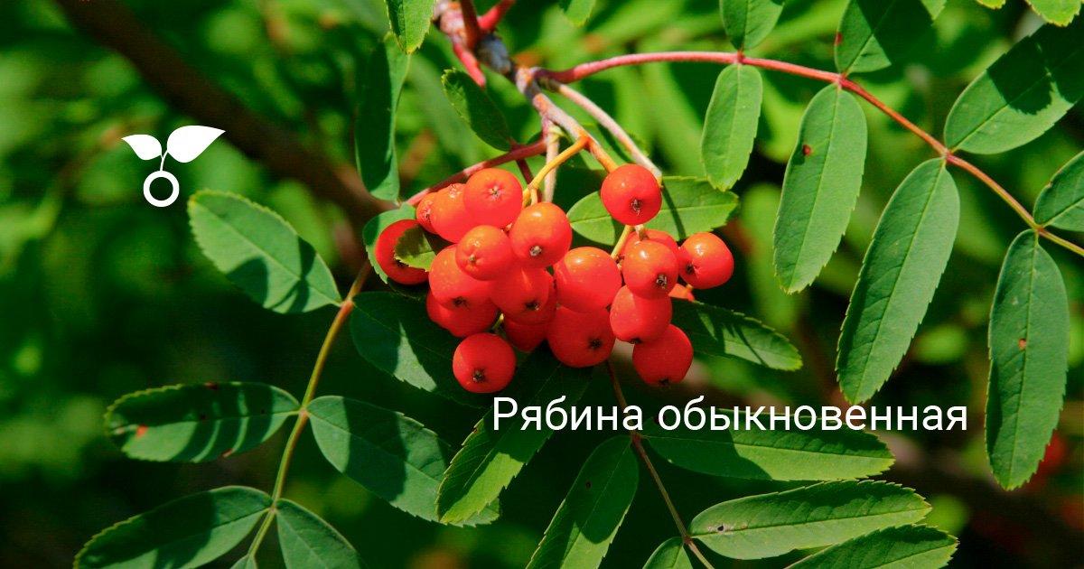 Дерево рябина (32 фото): описание растения, виды и сорта