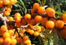 Облепиха — уникальная ягода
