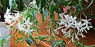 Жасмин лекарственный (Jasminum officinale)
