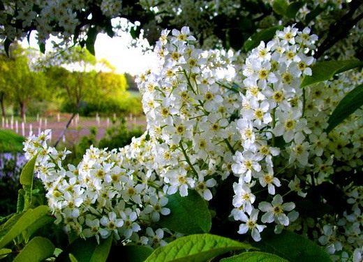 Черёмуха обыкновенная (Prunus