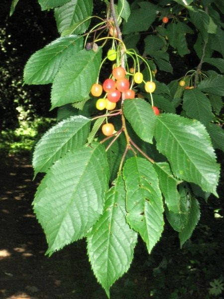 Черешня (Prunus avium)