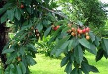 Черешня – подружка вишни