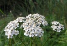 Тысячелистник — порезная трава