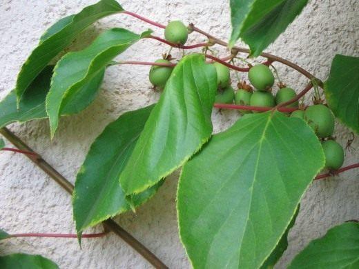 Актинидия острая (Actinidia arguta)