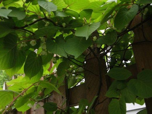Актинидия коломикта, или крыжовник амурский (Actinidia kolomikta)