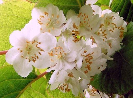 Цветки Актинидии коломикта, или крыжовника амурского (Actinidia kolomikta)