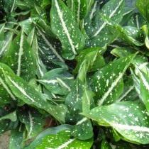 Аглаонема ребристая (Aglaonema costatum)