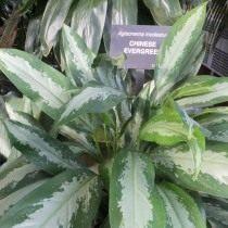 Аглаонема умеренная, или Аглаонема скромная (Aglaonema modestum)