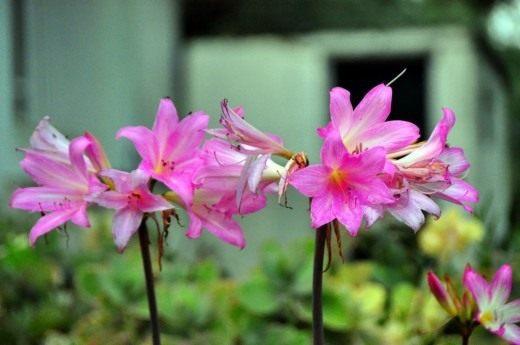 Амариллис белладонна (Amaryllis belladonna)