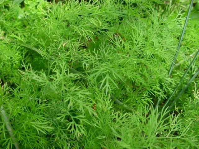 Укроп пахучий, или Укроп огородный (Anethum graveolens)