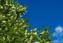 Черёмуха — выращивание, виды и формы