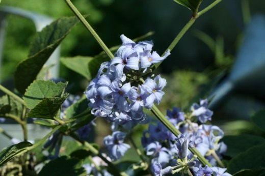 Клематис борщевиколистный (Clematis heracleifolia)