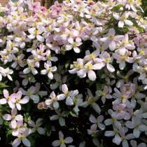 Клематис горный (Clematis montana)