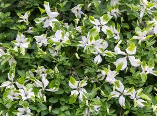 Клематис фиолетовый, или Клематис виноградничковый (Clematis viticella)