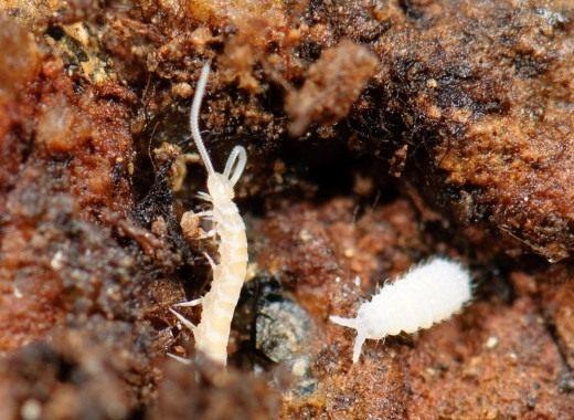 Многоножка из класса Симфилы (Symphyla) и коллембола Poduromorpha