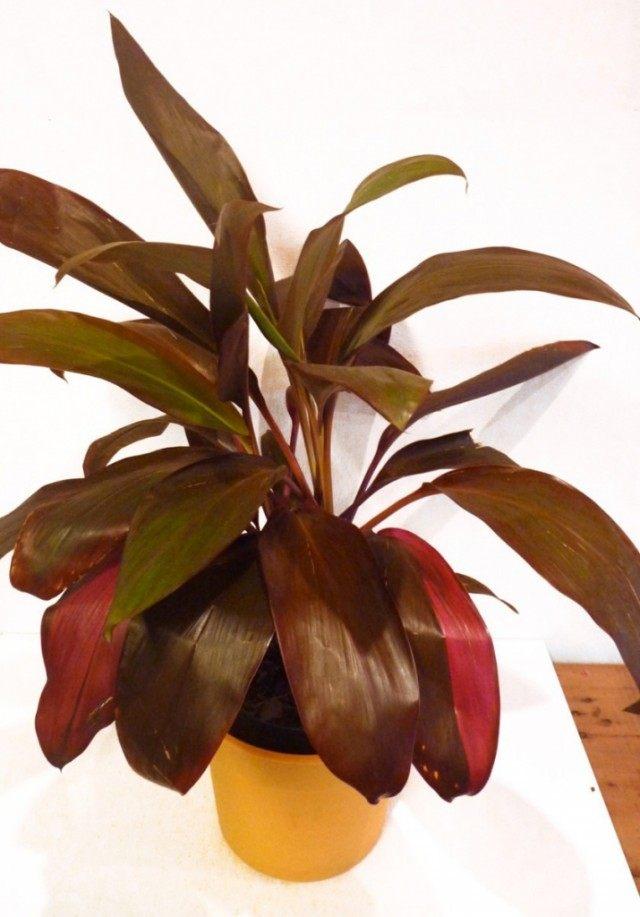 Кордилина красная (Cordyline rubra)