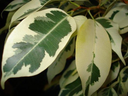 растение мыло фото