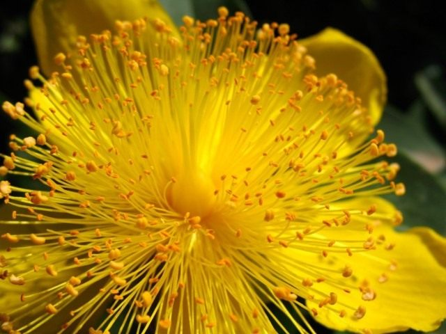 Зверобой чашечковидный (Hypericum calycinum)