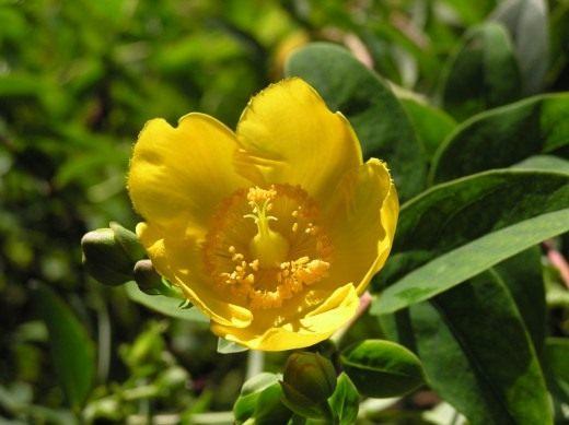 Зверобой кожистый (Hypericum coris)