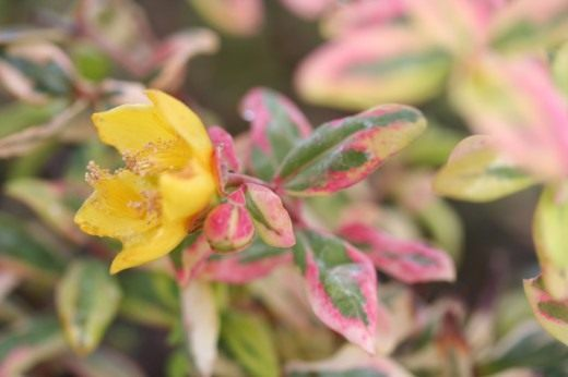 Зверобой Мозера (Hypericum х moserianum) 'Tricolor'