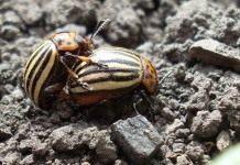 Колорадский жук — картофельный враг № 1