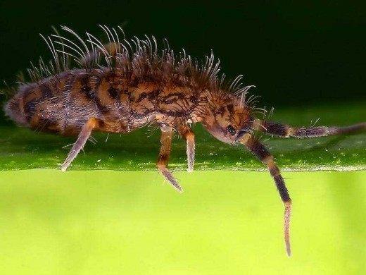 Ногохвостка Orchesella villosa