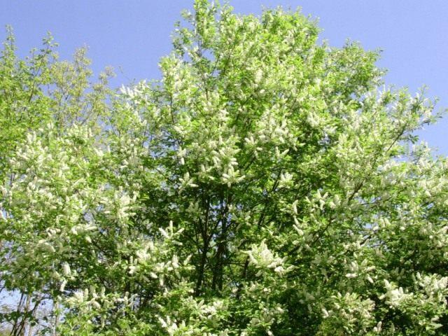 Черёмуха поздняя (Prunus serotina)