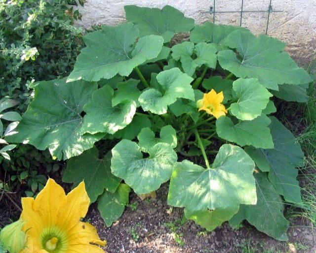 Патиссон, цветущее растение