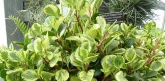 Пеперомия туполистная 'Greengold'